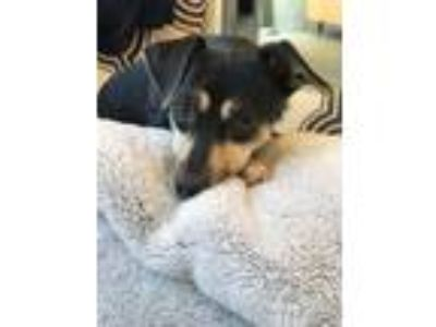 Adopt Nessie a Rat Terrier / Mixed dog in Boston, MA (25520956)
