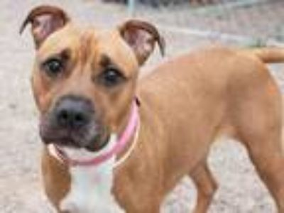 Adopt AMARETTO a Pit Bull Terrier, Mixed Breed