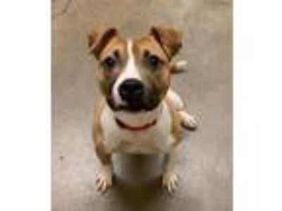 Adopt Fety a Pit Bull Terrier
