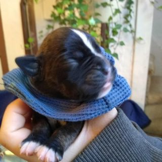 Boxer PUPPY FOR SALE ADN-100747 - AKC 50euro puppies