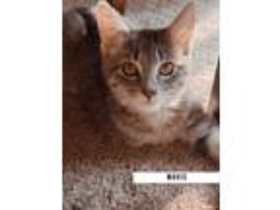 Adopt Mavis a Domestic Medium Hair