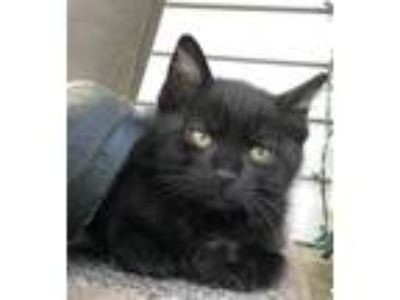 Adopt Jafar a Domestic Short Hair