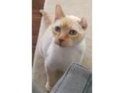 Adopt Angel a Siamese, Domestic Short Hair