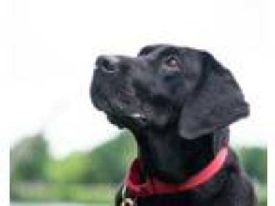 Adopt Zira a Black Labrador Retriever / Mixed dog in Lowell, MA (25329702)
