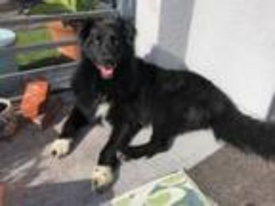 Adopt Rocket a Border Collie