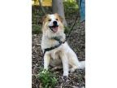 Adopt Charlie a White - with Brown or Chocolate Collie / Great Pyrenees / Mixed