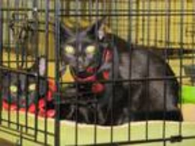 Adopt Sisters 1 & 2 Raven and Abby a Domestic Short Hair