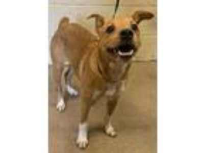 Adopt Kaleb* a Tan/Yellow/Fawn Jack Russell Terrier / Mixed dog in Anderson