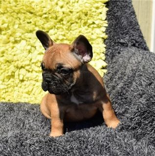 frenchei puppies for new homes