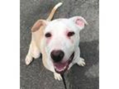 Adopt Caddy a Labrador Retriever, Pit Bull Terrier