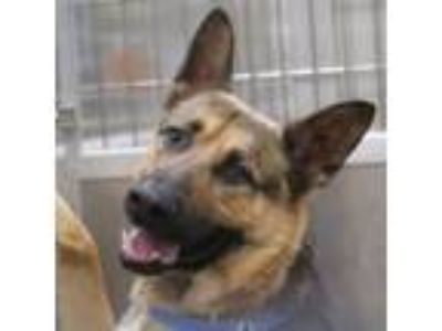 Adopt ZOLTAN a German Shepherd Dog