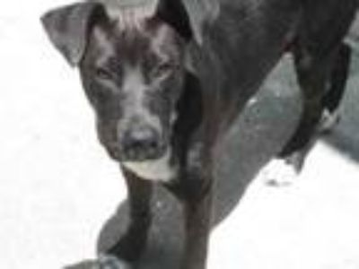 Adopt SMOKEY a Labrador Retriever