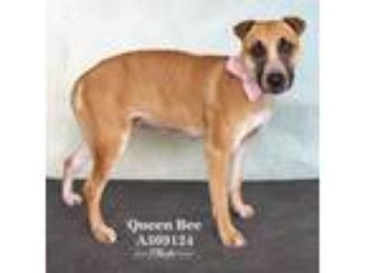 Adopt QUEEN-BEE a Shar-Pei, Mixed Breed