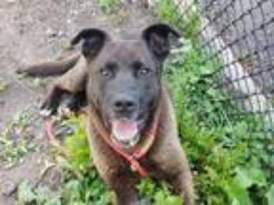 Adopt Prietieo a Brown/Chocolate - with Black Shepherd (Unknown Type) / Mixed