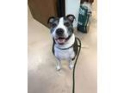 Adopt Butters a American Staffordshire Terrier