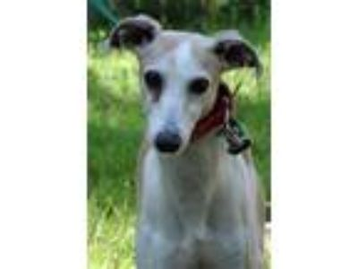 Adopt Danny a Greyhound