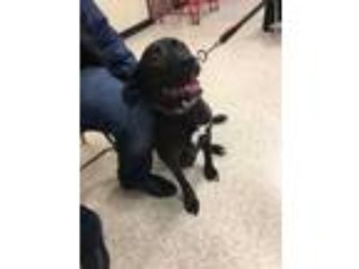 Adopt Theo a Black - with White Labrador Retriever / Mixed dog in