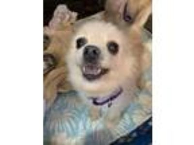Adopt Mary Lincoln a Pomeranian