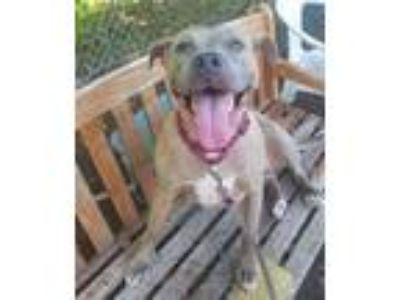 Adopt Sicily, 8245 a Pit Bull Terrier