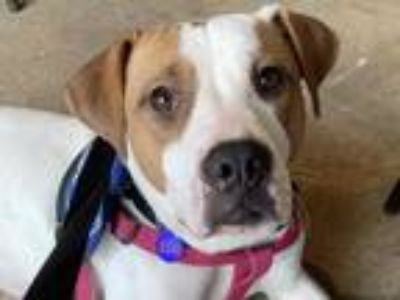 Adopt VALLEY a Tan/Yellow/Fawn - with White Mixed Breed (Medium) / Mixed dog in
