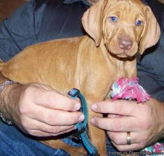 ty great bloodlines.Vizsla Puppies For Sale