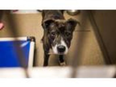 Adopt Homie a Mountain Cur / Mixed dog in Rome, GA (25937162)