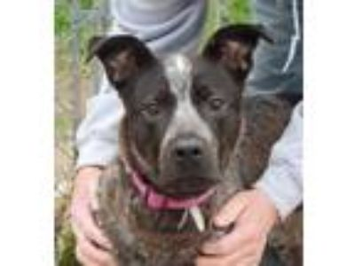 Adopt Eclair a Brown/Chocolate Australian Cattle Dog / Mixed dog in Watertown