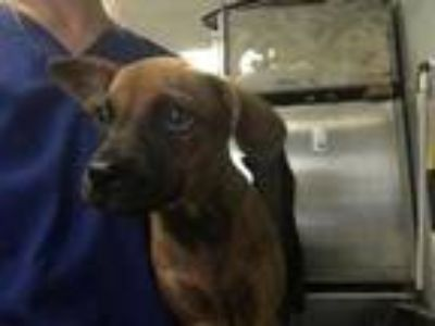 Adopt 42215737 a Brown/Chocolate Retriever (Unknown Type) / Mixed dog in