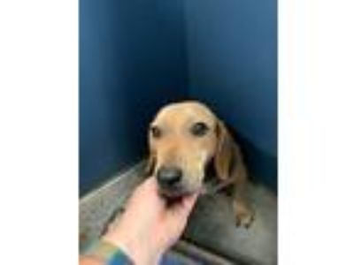 Adopt Marvin a Black - with Tan, Yellow or Fawn Beagle / Mixed dog in Henderson