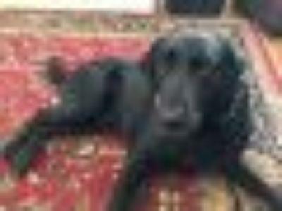 Vegas Labrador Retriever Dog