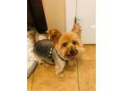 Adopt Maxwell a Yorkshire Terrier