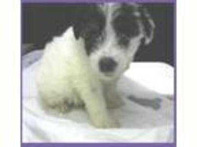 Adopt Estrella a White - with Black Shih Tzu / Mixed dog in Evergreen