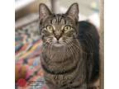 Adopt Crystal a Brown Tabby Domestic Shorthair (short coat) cat in St Louis