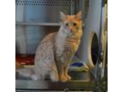 Adopt Leo a Orange or Red Domestic Longhair cat in Oyster Bay, NY (18717057)