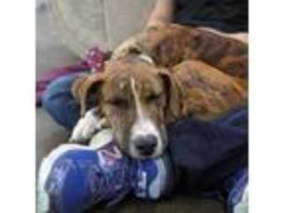 Adopt Bernie a Brindle - with White Hound (Unknown Type) / Terrier (Unknown