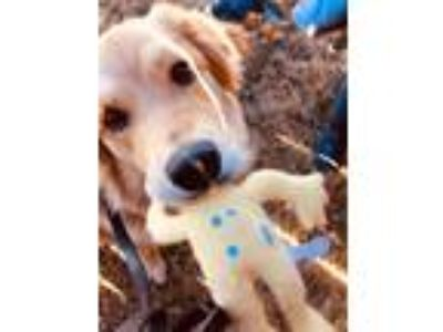 Adopt Daisy a Tan/Yellow/Fawn - with White Great Pyrenees / Golden Retriever /