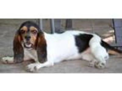 Adopt Rosebud a White - with Black Beagle / Basset Hound / Mixed dog in Simi
