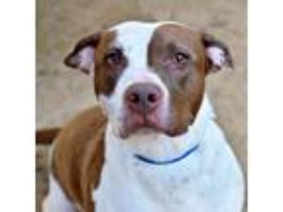 Adopt Nut a Brown/Chocolate American Staffordshire Terrier dog in Fort Smith