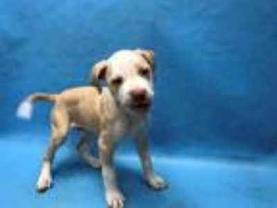 Adopt Groot a Tan/Yellow/Fawn American Pit Bull Terrier / Mixed dog in Golden