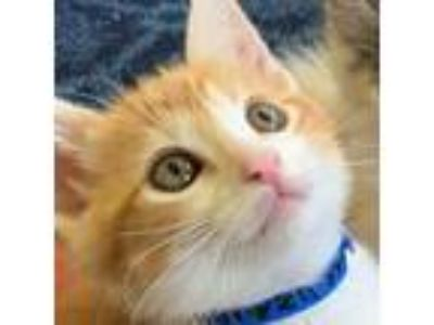 Adopt Manzanilla a Orange or Red Domestic Mediumhair / Domestic Shorthair /