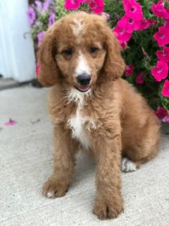 Poodle (Standard) PUPPY FOR SALE ADN-93590 - Red and White Standard Poodles