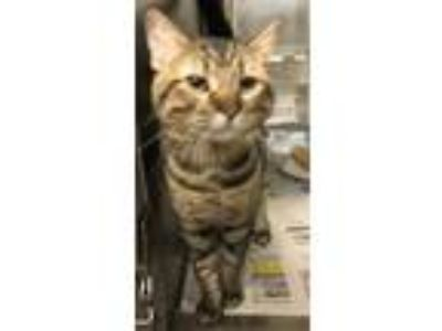 Adopt Reece a Tan or Fawn Domestic Shorthair / Mixed cat in Wichita