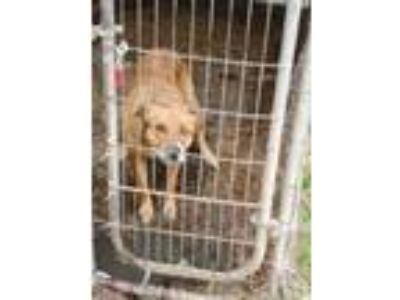 Adopt Moonie a Brown/Chocolate Labrador Retriever / Chow Chow / Mixed dog in