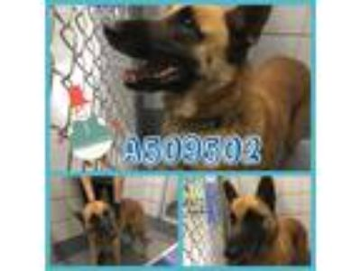 Adopt MARK a Tan/Yellow/Fawn German Shepherd Dog / Mixed dog in San Antonio