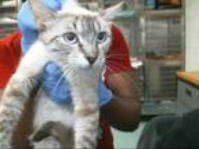 Adopt a White (Mostly) Siamese / Mixed (short coat) cat in Pasadena