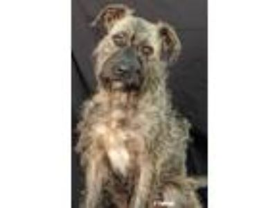 Adopt Fuzzy Wuzzy a Gray/Blue/Silver/Salt & Pepper Terrier (Unknown Type