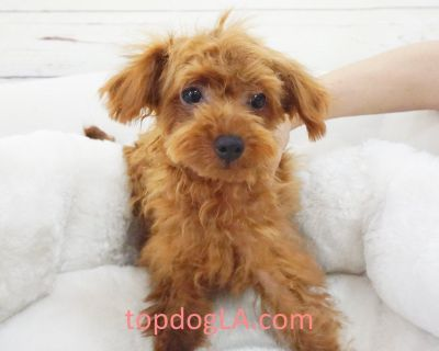 French Poodle Puppy - Male – 007 ($2,899) Tcup/Full Grown