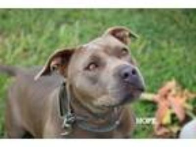 Adopt Hope a American Staffordshire Terrier