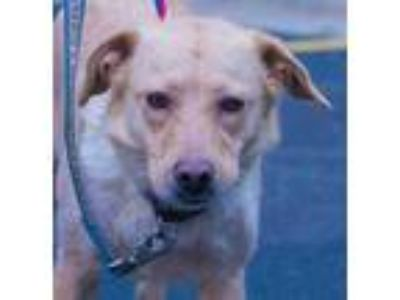 Adopt Rayna a Tan/Yellow/Fawn Labrador Retriever / Mixed dog in Roselle