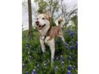 Adopt Malachi a Red/Golden/Orange/Chestnut - with White Siberian Husky / Mixed